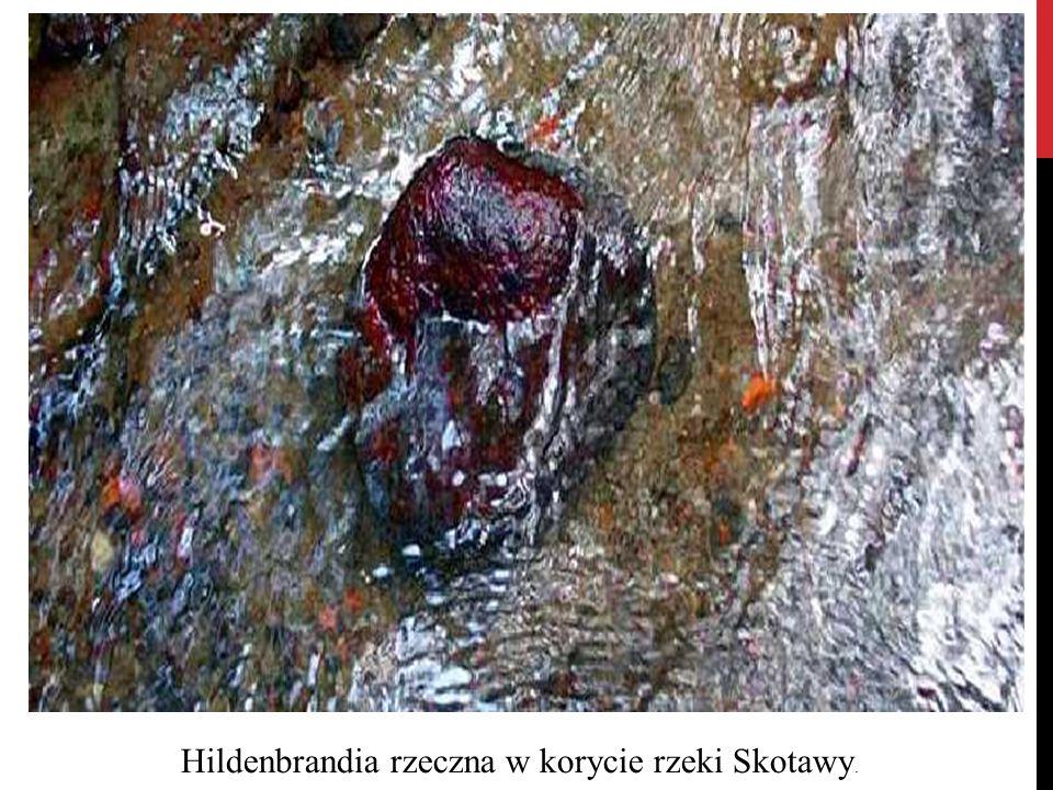Hildenbrandia rzeczna w korycie rzeki Skotawy.