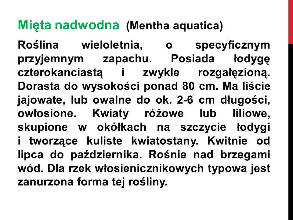 Mięta nadwodna (Mentha aquatica)