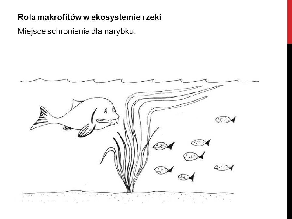 Rola makrofitów w ekosystemie rzeki Miejsce schronienia dla narybku.