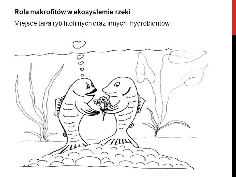 Rola makrofitów w ekosystemie rzeki Miejsce tarła ryb fitofilnych oraz innych hydrobiontów