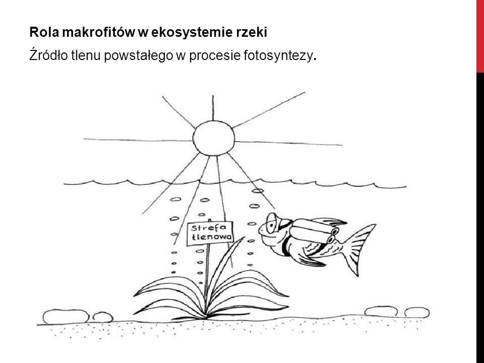 Rola makrofitów w ekosystemie rzeki Źródło tlenu powstałego w procesie fotosyntezy.
