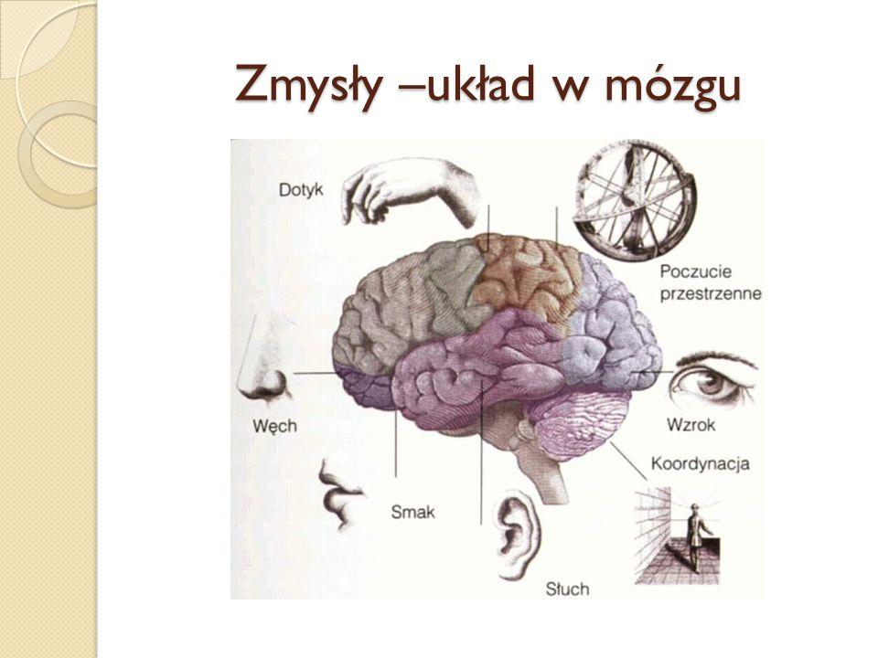 Zmysły –układ w mózgu