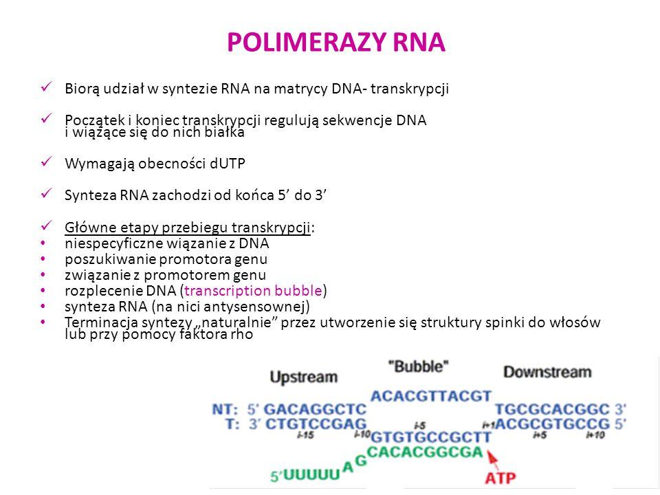 POLIMERAZY RNA Biorą udział w syntezie RNA na matrycy DNA- transkrypcji.