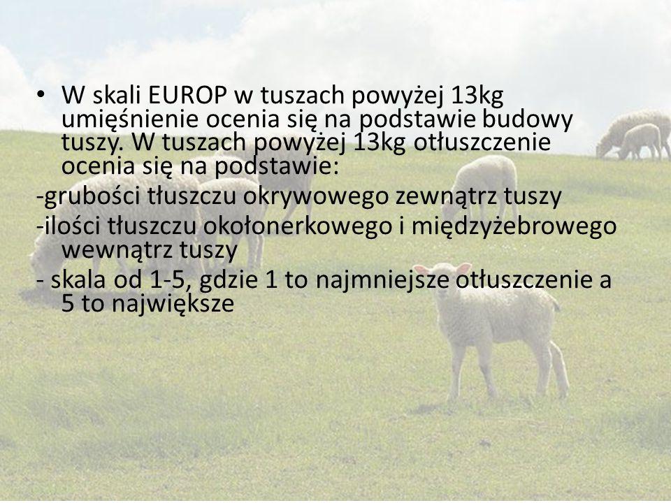 W skali EUROP w tuszach powyżej 13kg umięśnienie ocenia się na podstawie budowy tuszy. W tuszach powyżej 13kg otłuszczenie ocenia się na podstawie: