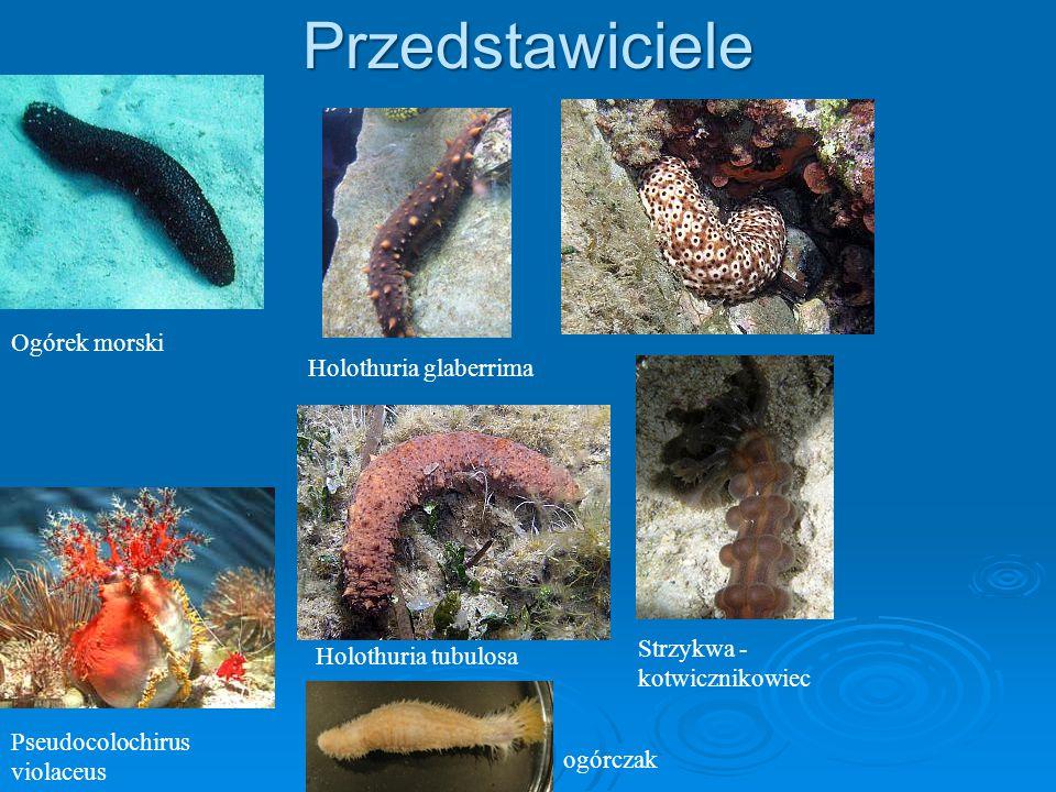 Przedstawiciele Ogórek morski Holothuria glaberrima