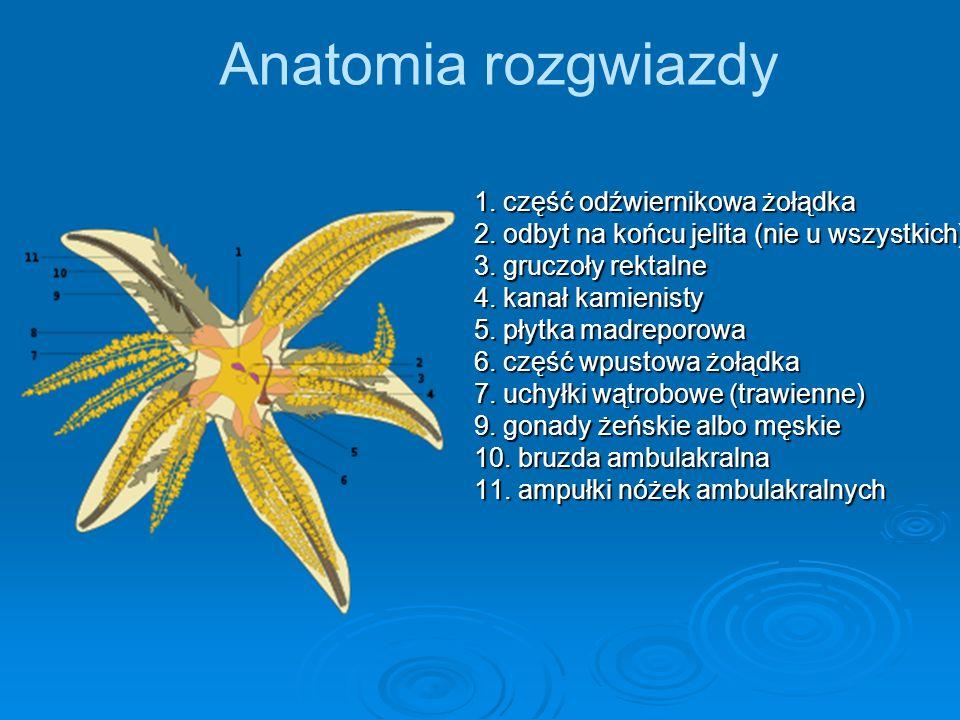 Anatomia rozgwiazdy 1. część odźwiernikowa żołądka