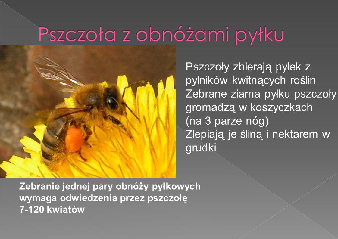 Pszczoła z obnóżami pyłku
