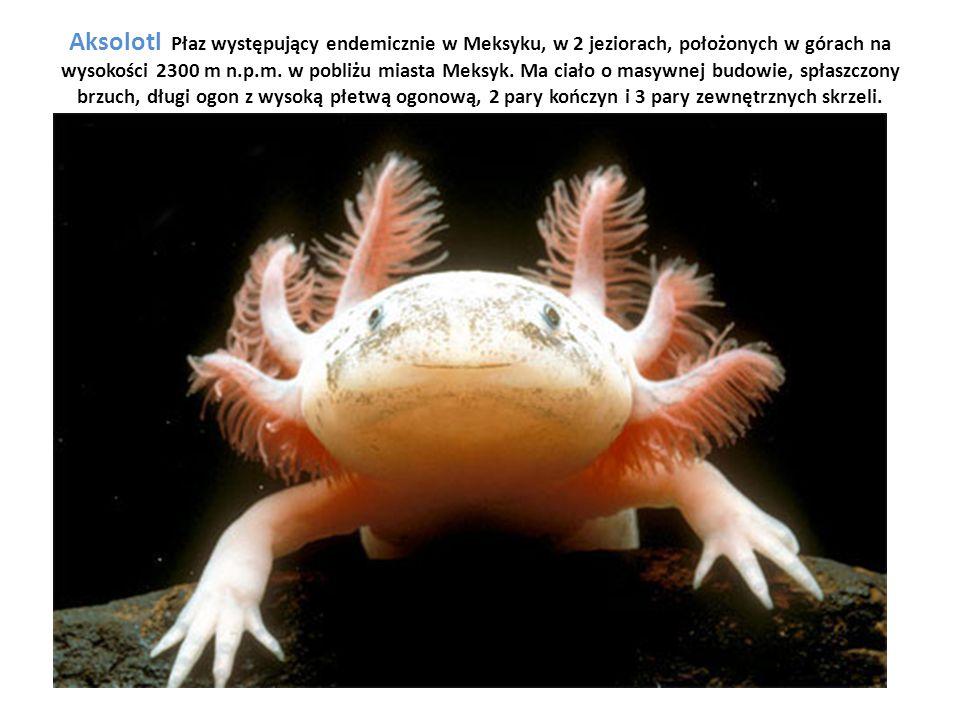 Aksolotl Płaz występujący endemicznie w Meksyku, w 2 jeziorach, położonych w górach na wysokości 2300 m n.p.m.