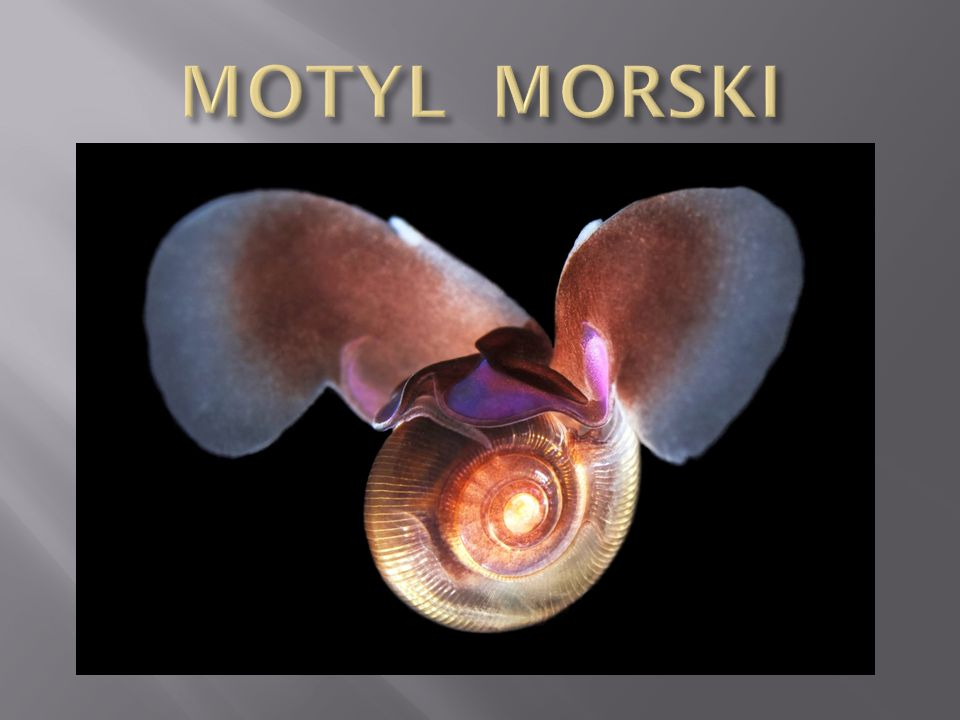 MOTYL MORSKI
