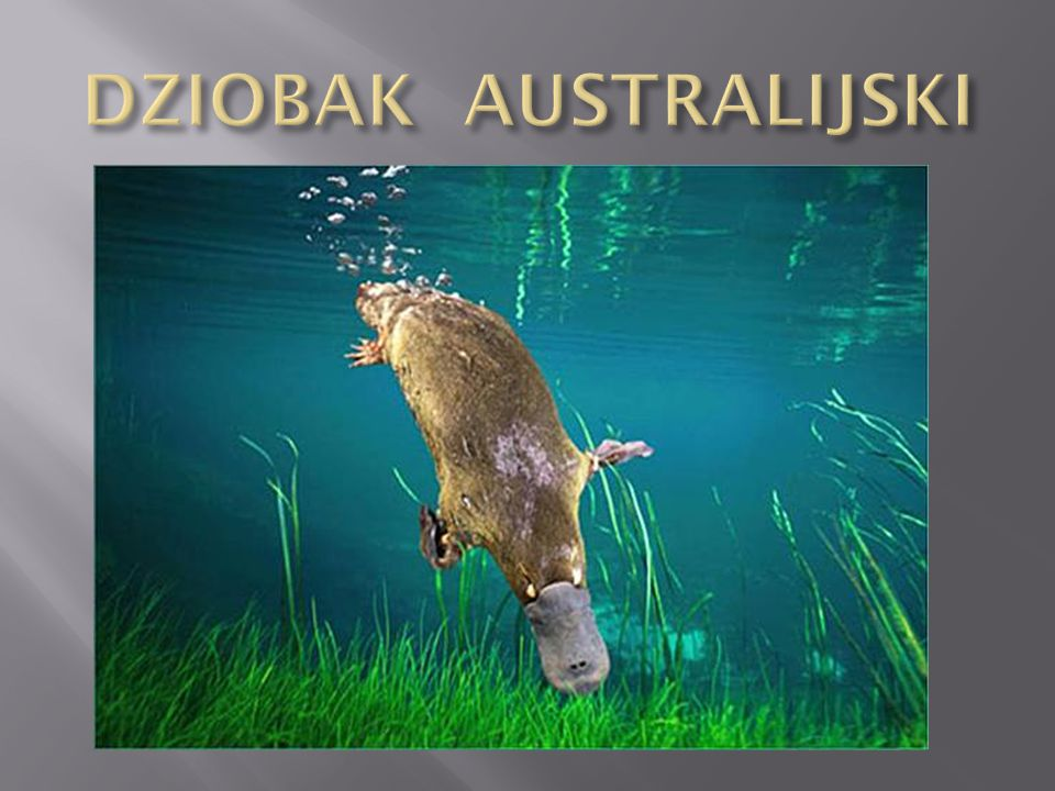 DZIOBAK AUSTRALIJSKI