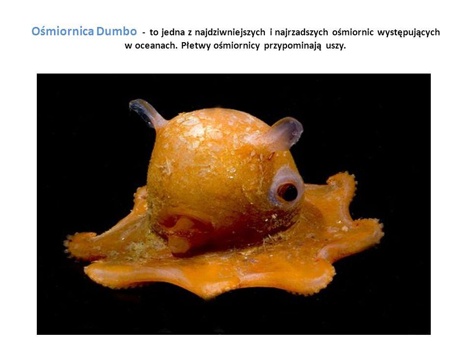 Ośmiornica Dumbo - to jedna z najdziwniejszych i najrzadszych ośmiornic występujących w oceanach.