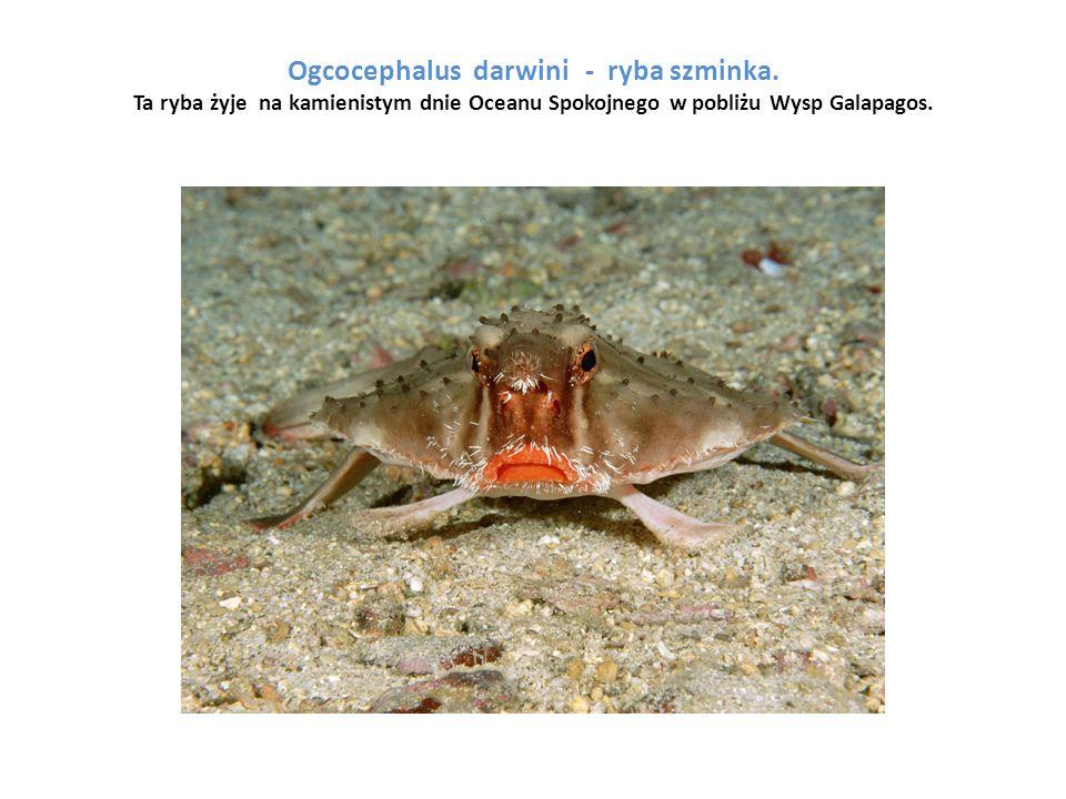 Ogcocephalus darwini - ryba szminka