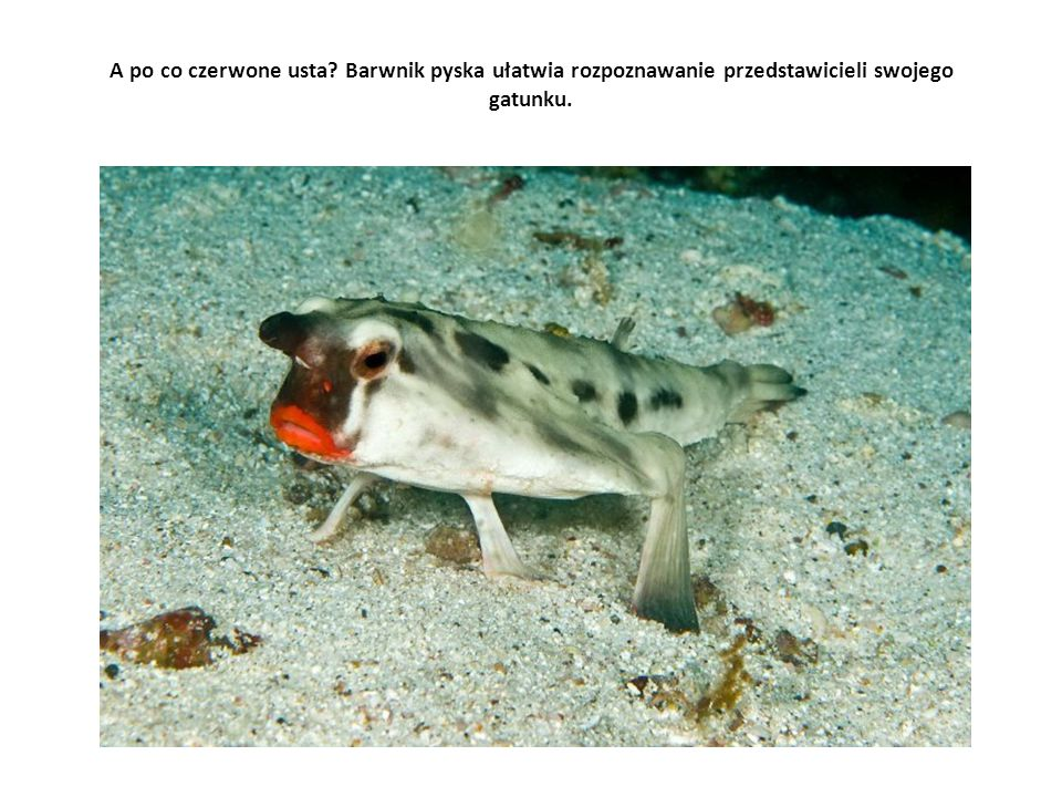 A po co czerwone usta Barwnik pyska ułatwia rozpoznawanie przedstawicieli swojego gatunku.