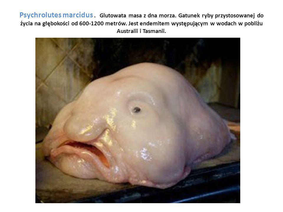 Psychrolutes marcidus. Glutowata masa z dna morza