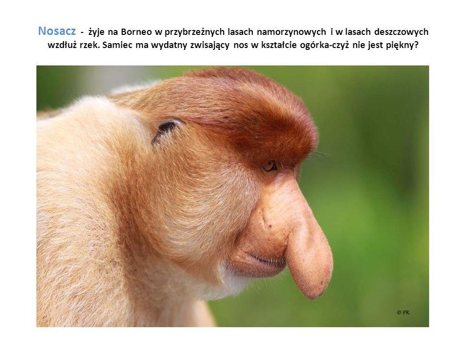 Nosacz - żyje na Borneo w przybrzeżnych lasach namorzynowych i w lasach deszczowych wzdłuż rzek.