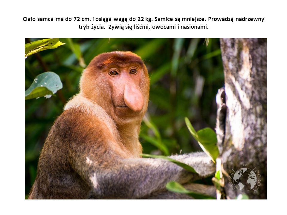 Ciało samca ma do 72 cm. i osiąga wagę do 22 kg. Samice są mniejsze