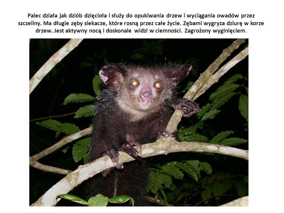 Palec działa jak dziób dzięcioła i służy do opukiwania drzew i wyciągania owadów przez szczeliny.