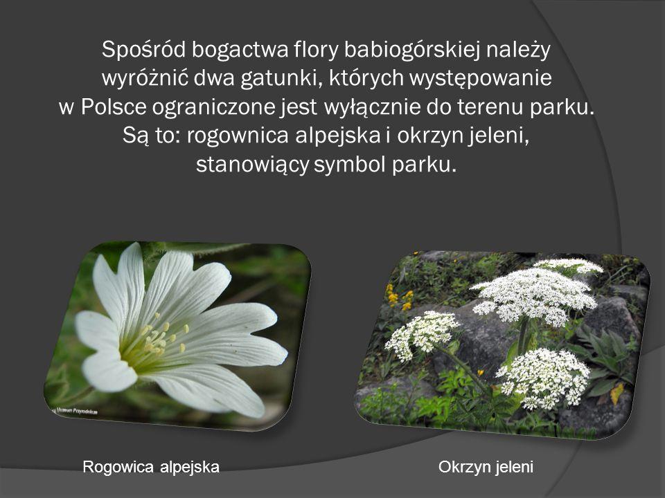 Spośród bogactwa flory babiogórskiej należy wyróżnić dwa gatunki, których występowanie w Polsce ograniczone jest wyłącznie do terenu parku. Są to: rogownica alpejska i okrzyn jeleni, stanowiący symbol parku.