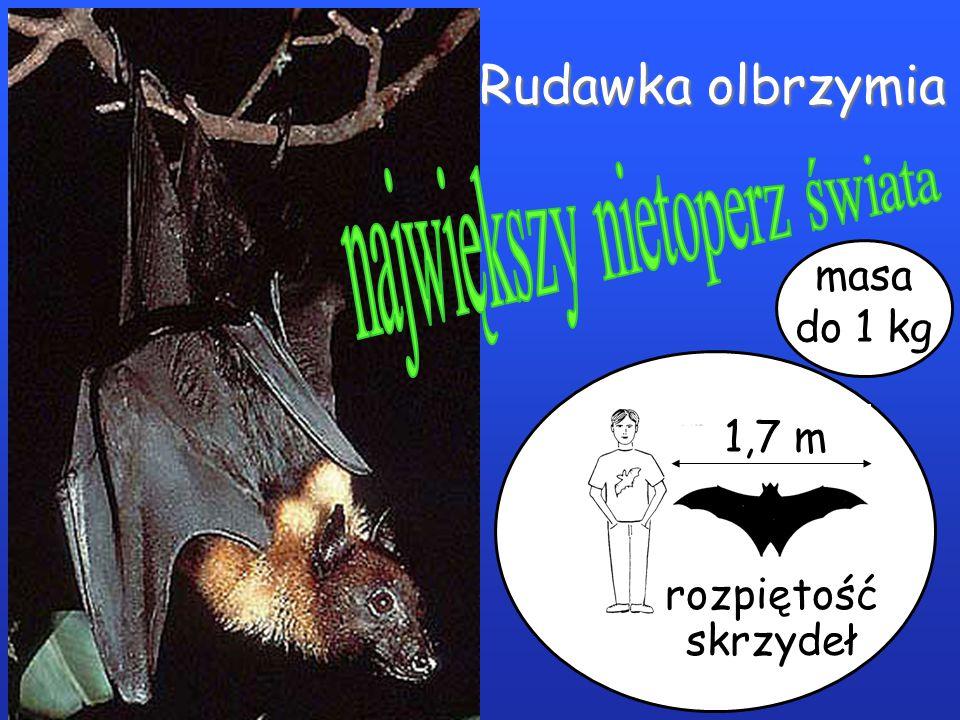 największy nietoperz świata