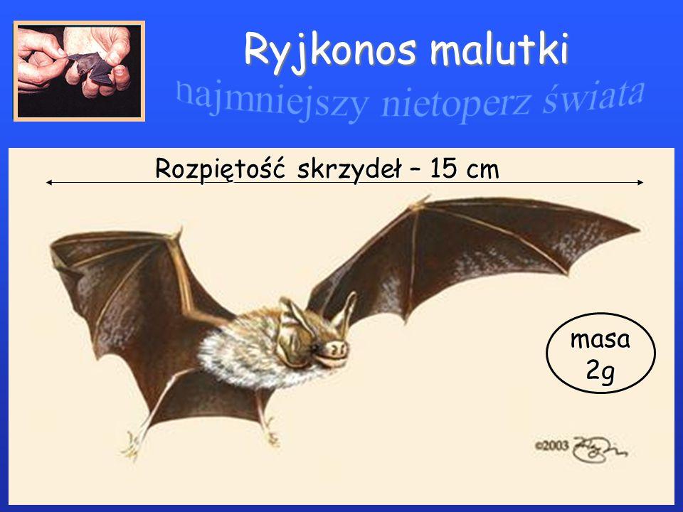 najmniejszy nietoperz świata