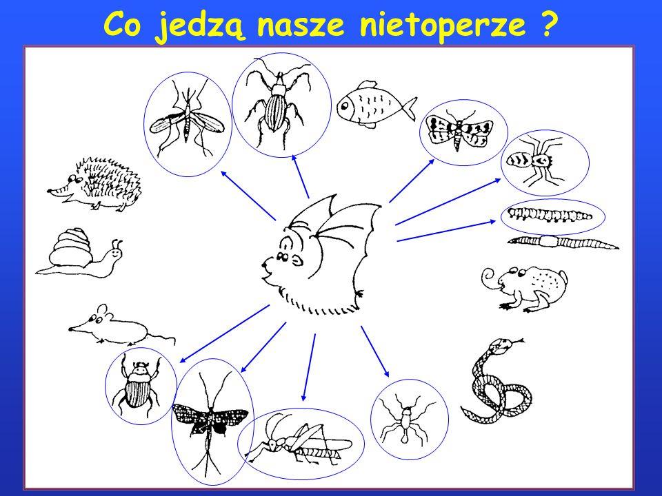 Co jedzą nasze nietoperze