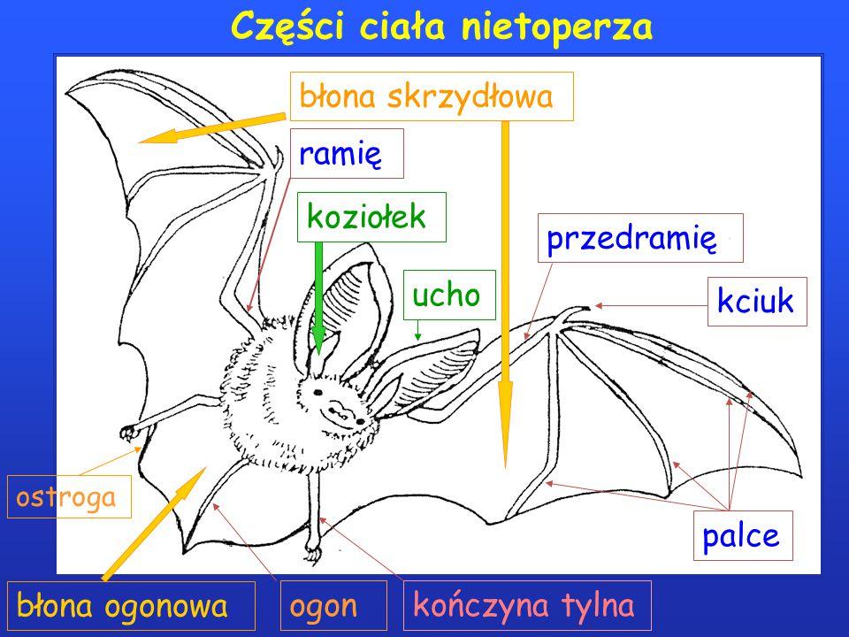 Części ciała nietoperza