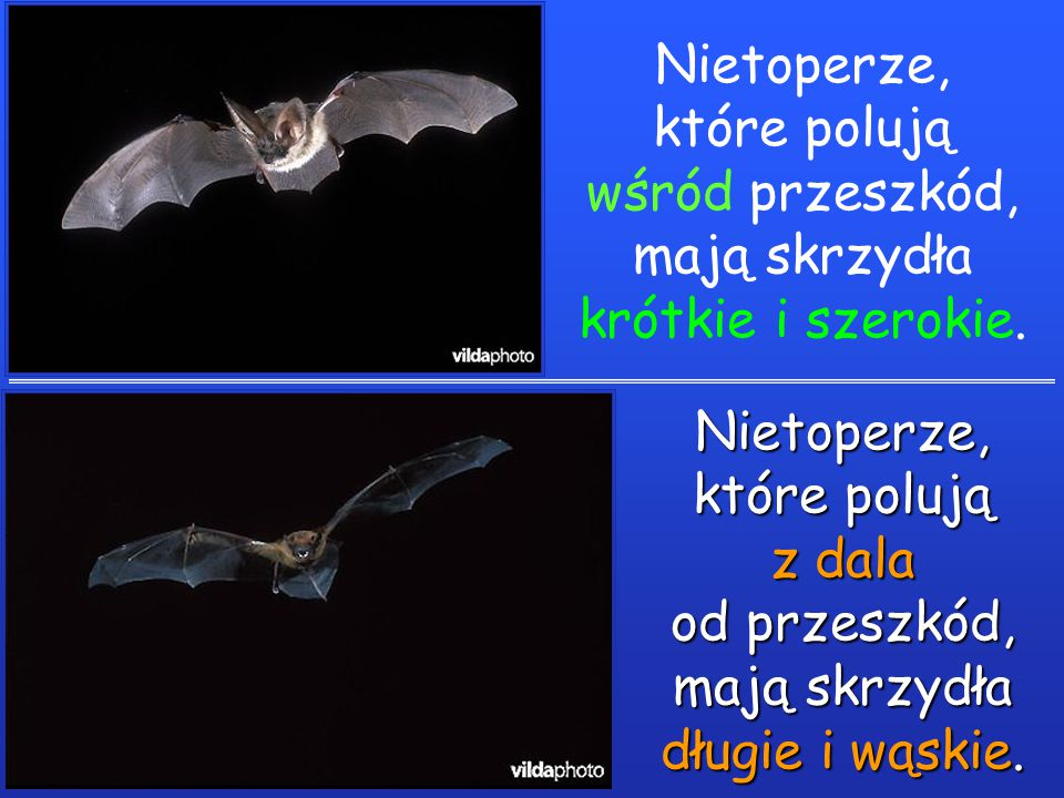 Nietoperze, które polują wśród przeszkód, mają skrzydła krótkie i szerokie.