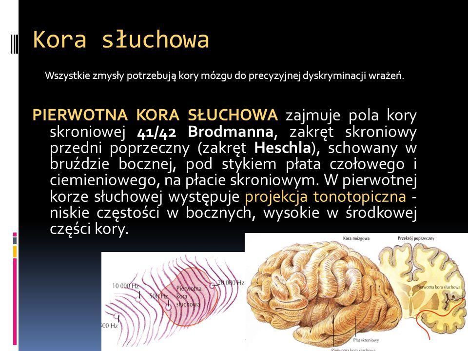 Kora słuchowa Wszystkie zmysły potrzebują kory mózgu do precyzyjnej dyskryminacji wrażeń.