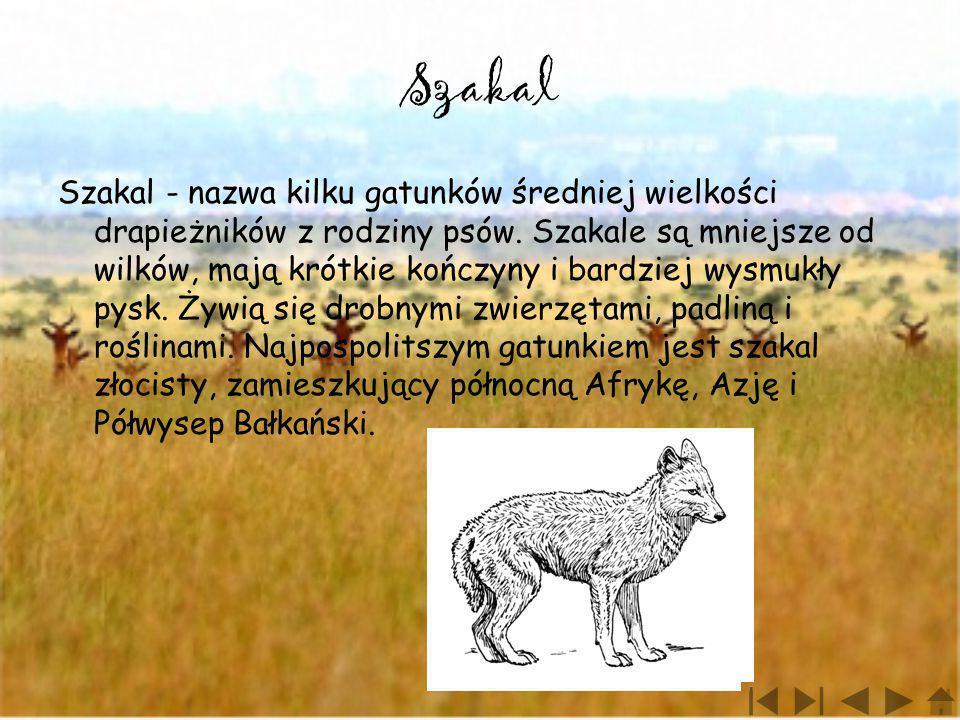 Szakal