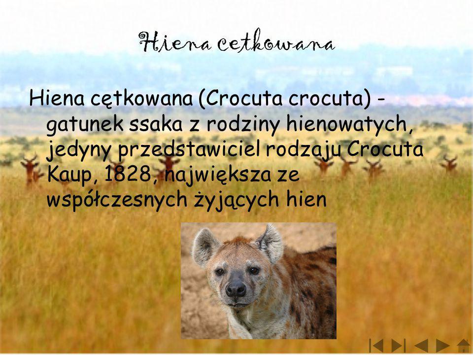 Hiena cetkowana