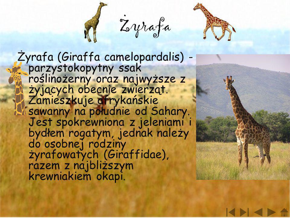 . Zyrafa.