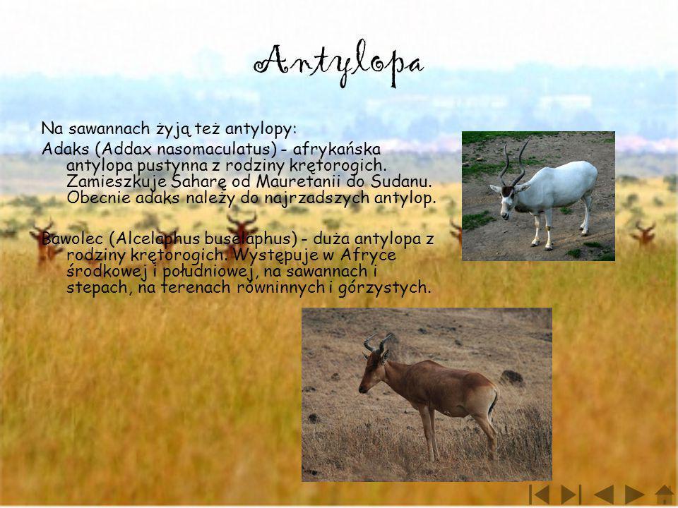 Antylopa Na sawannach żyją też antylopy: