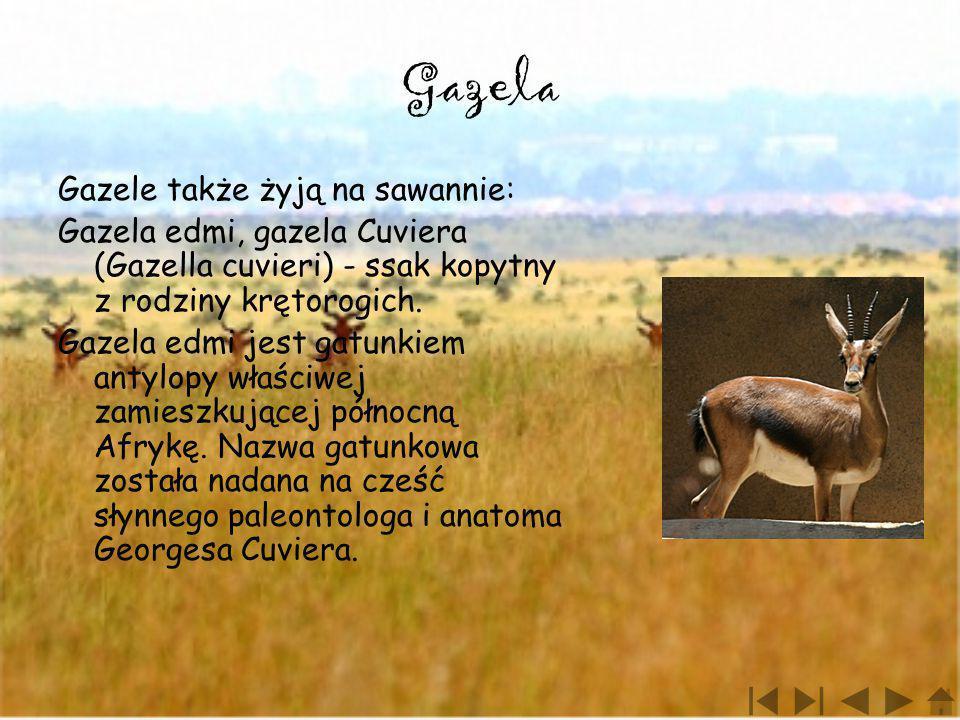 Gazela Gazele także żyją na sawannie: