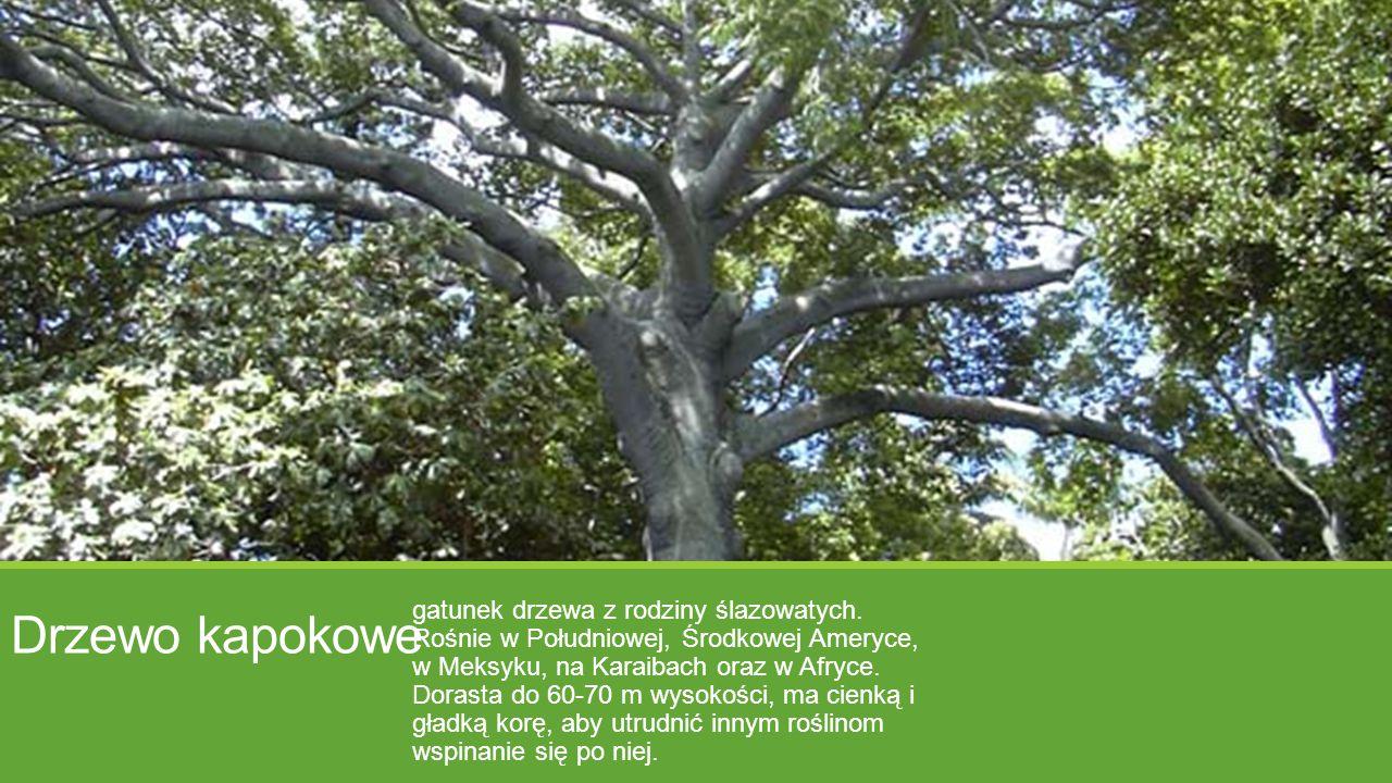 Drzewo kapokowe