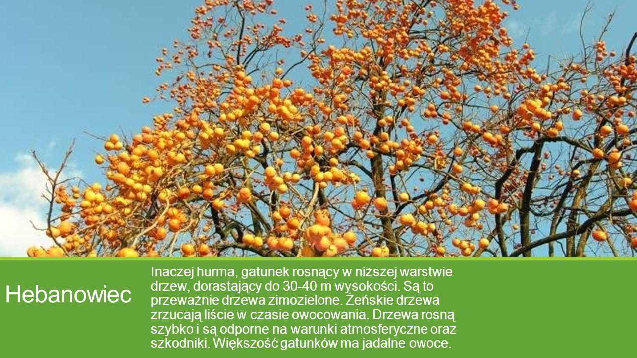 Hebanowiec