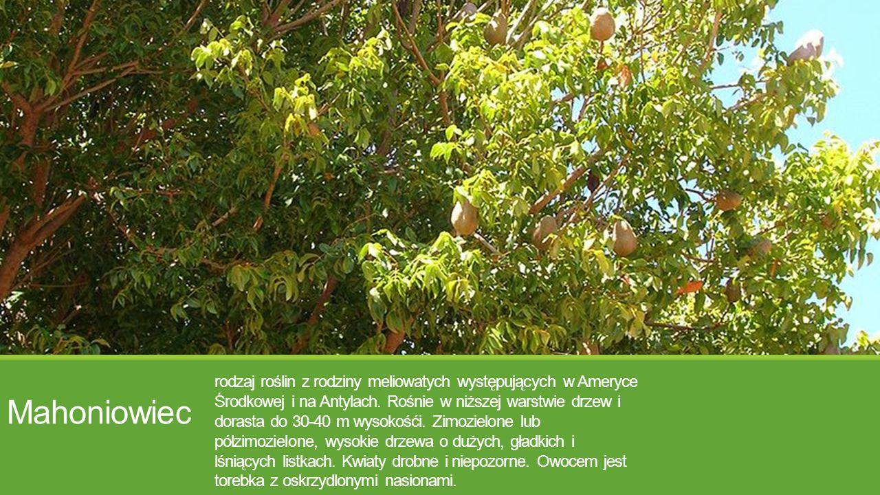 Mahoniowiec