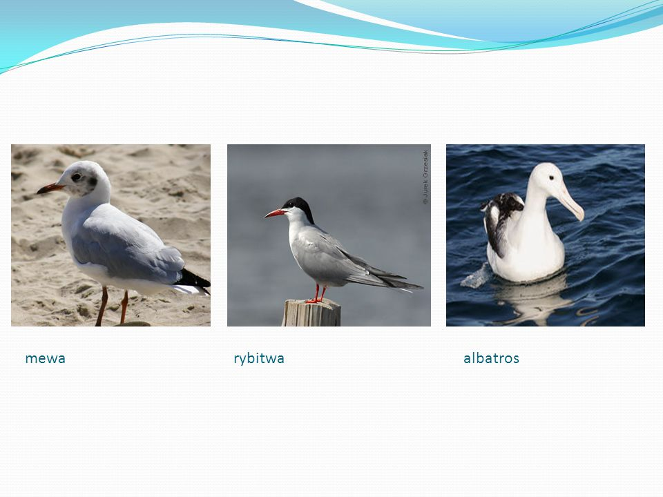 mewa rybitwa albatros
