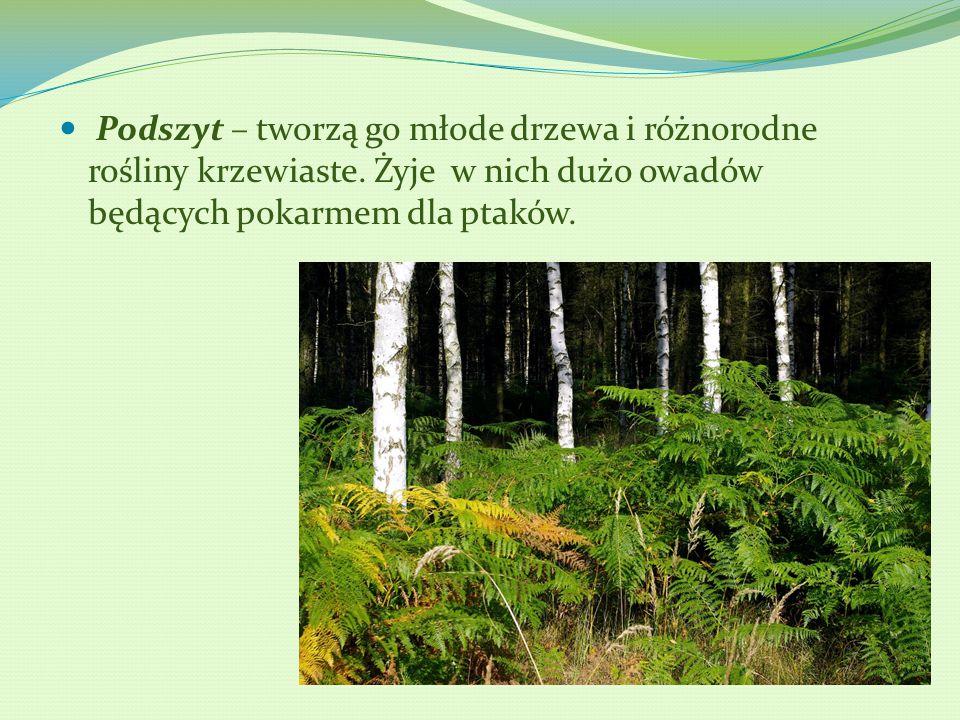 Podszyt – tworzą go młode drzewa i różnorodne rośliny krzewiaste
