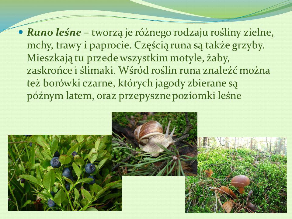 Runo leśne – tworzą je różnego rodzaju rośliny zielne, mchy, trawy i paprocie.