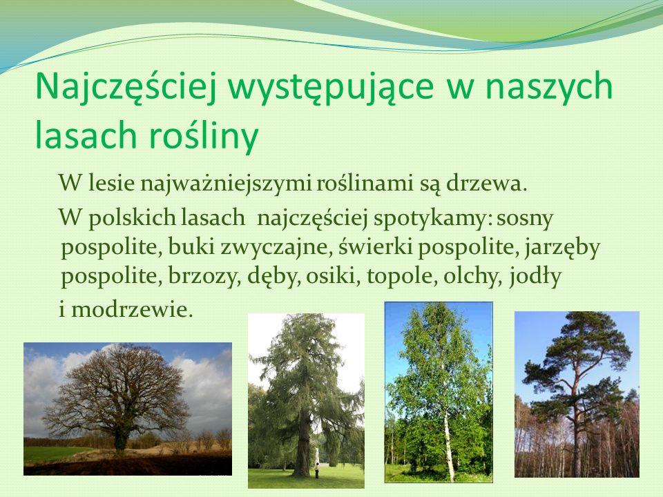 Najczęściej występujące w naszych lasach rośliny