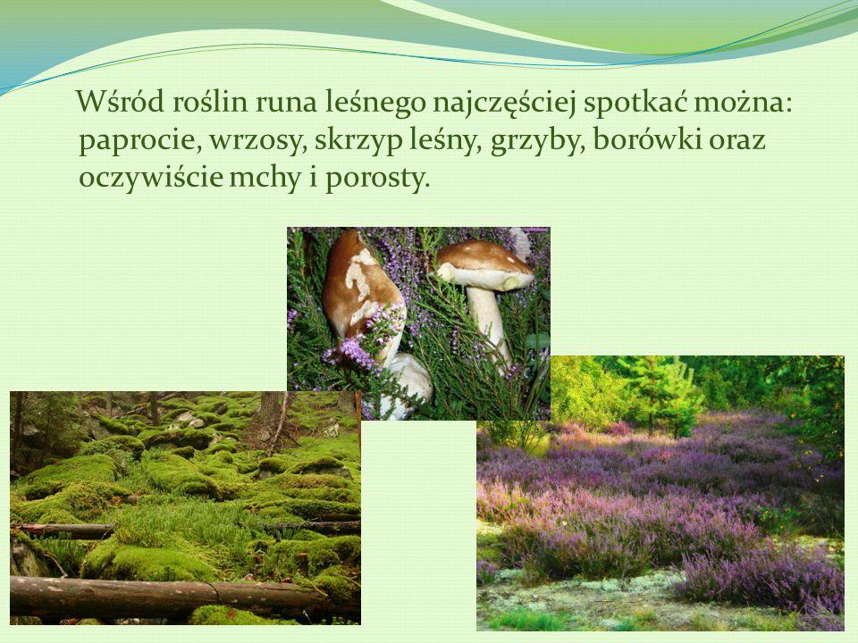 Wśród roślin runa leśnego najczęściej spotkać można: paprocie, wrzosy, skrzyp leśny, grzyby, borówki oraz oczywiście mchy i porosty.