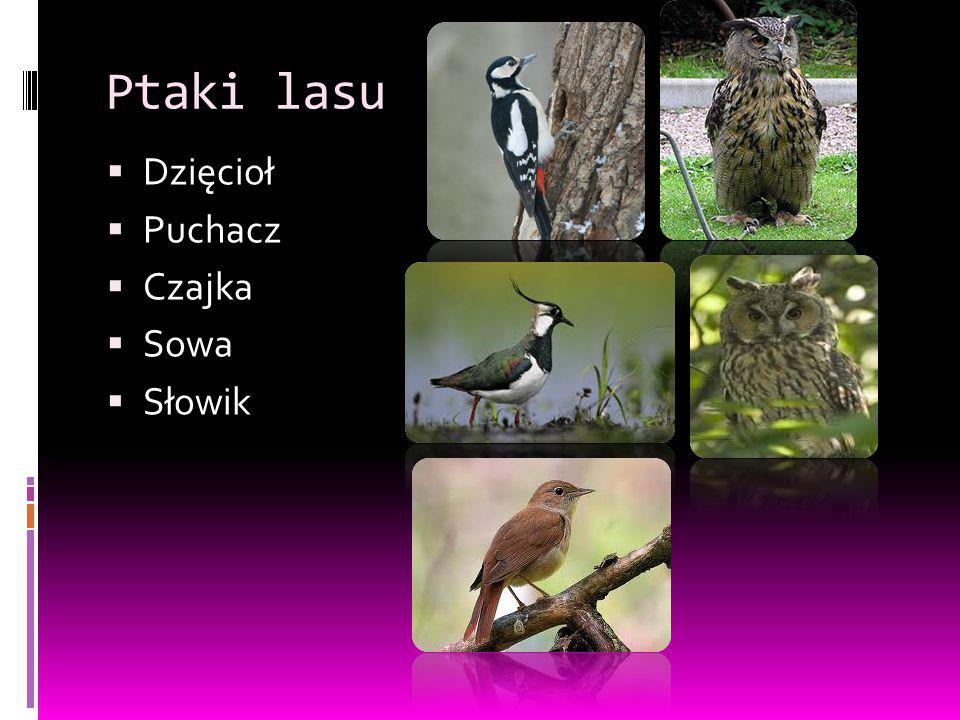 Ptaki lasu Dzięcioł Puchacz Czajka Sowa Słowik
