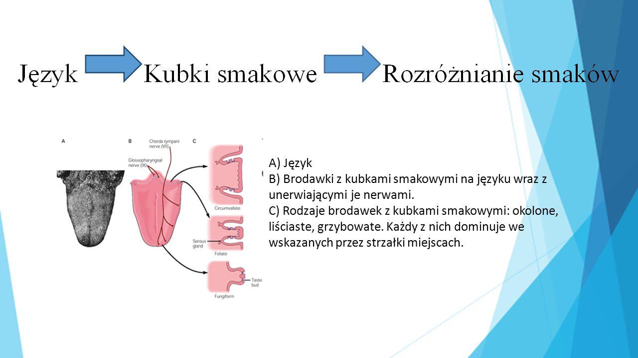 A) Język B) Brodawki z kubkami smakowymi na języku wraz z unerwiającymi je nerwami.