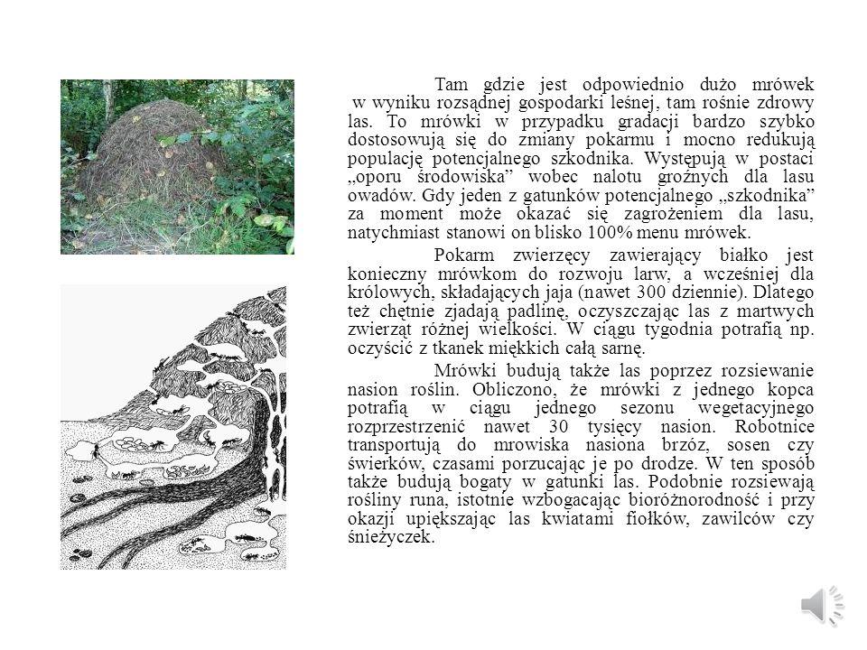 """Tam gdzie jest odpowiednio dużo mrówek w wyniku rozsądnej gospodarki leśnej, tam rośnie zdrowy las. To mrówki w przypadku gradacji bardzo szybko dostosowują się do zmiany pokarmu i mocno redukują populację potencjalnego szkodnika. Występują w postaci """"oporu środowiska wobec nalotu groźnych dla lasu owadów. Gdy jeden z gatunków potencjalnego """"szkodnika za moment może okazać się zagrożeniem dla lasu, natychmiast stanowi on blisko 100% menu mrówek."""