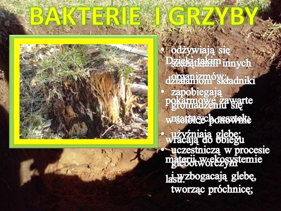 BAKTERIE I GRZYBY odżywiają się szczątkami innych organizmów;