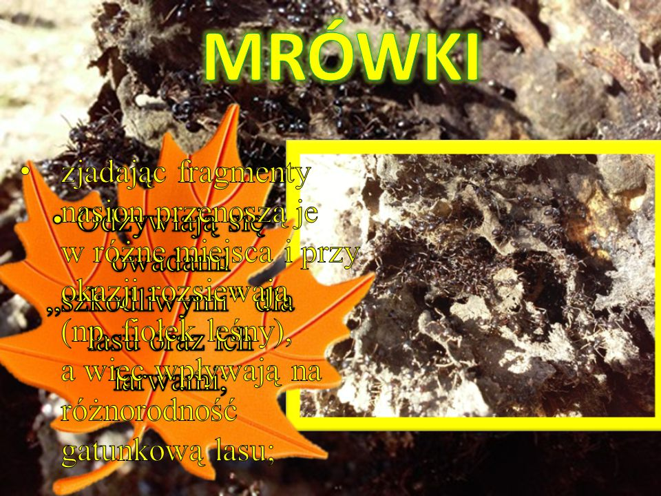 """Odżywiają się owadami """"szkodliwymi dla lasu oraz ich larwami;"""