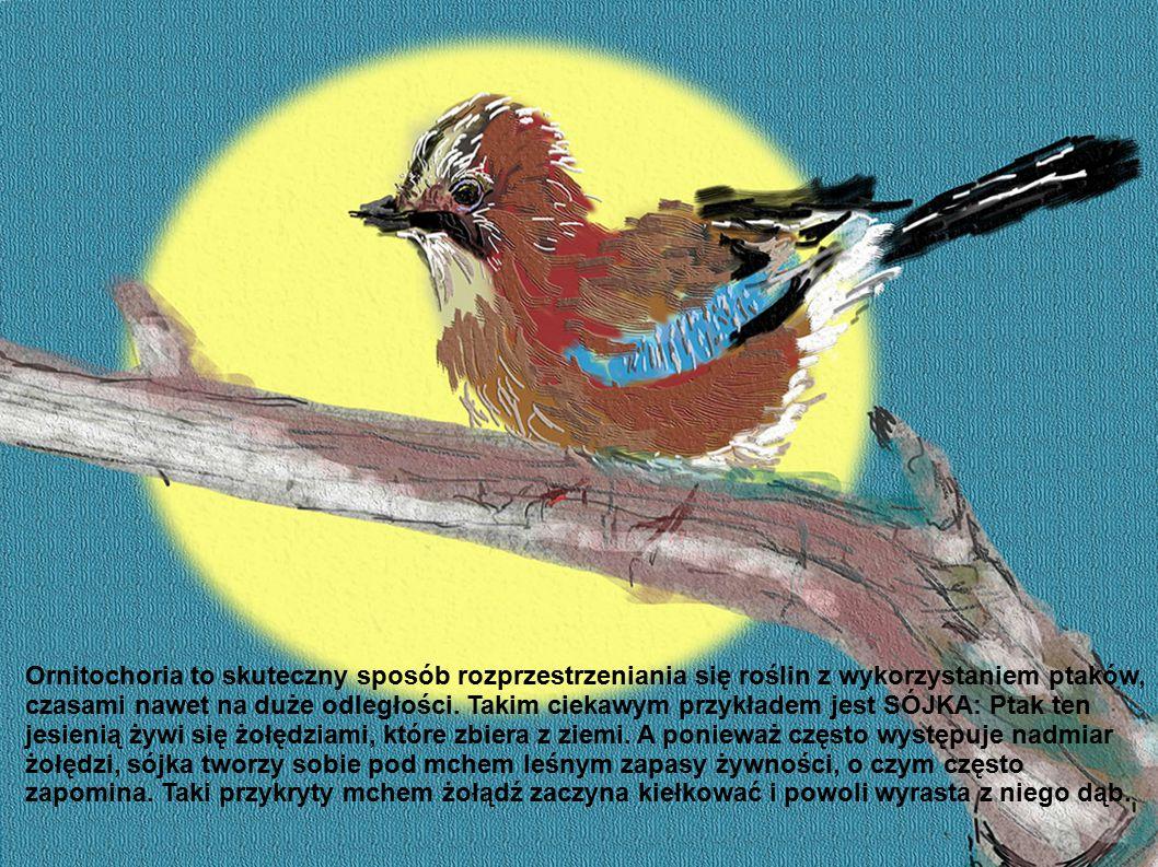 Ornitochoria to skuteczny sposób rozprzestrzeniania się roślin z wykorzystaniem ptaków,