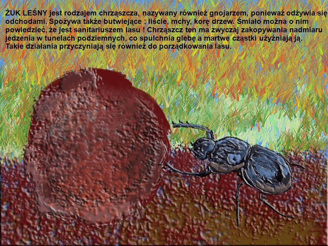 ŻUK LEŚNY jest rodzajem chrząszcza, nazywany również gnojarzem, ponieważ odżywia się