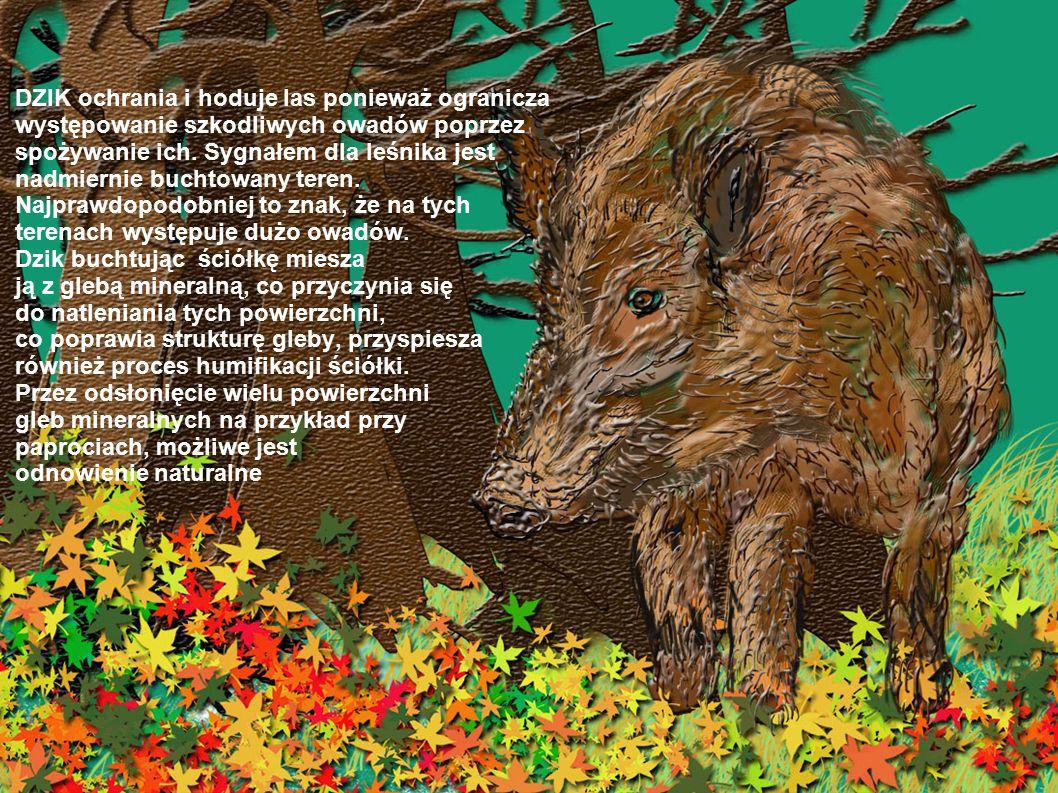DZIK ochrania i hoduje las ponieważ ogranicza występowanie szkodliwych owadów poprzez spożywanie ich.