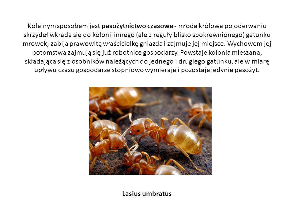 Kolejnym sposobem jest pasożytnictwo czasowe - młoda królowa po oderwaniu skrzydeł wkrada się do kolonii innego (ale z reguły blisko spokrewnionego) gatunku mrówek, zabija prawowitą właścicielkę gniazda i zajmuje jej miejsce. Wychowem jej potomstwa zajmują się już robotnice gospodarzy. Powstaje kolonia mieszana, składająca się z osobników należących do jednego i drugiego gatunku, ale w miarę upływu czasu gospodarze stopniowo wymierają i pozostaje jedynie pasożyt.